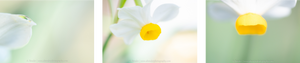 horizontal triptych of daffodil details, a bender photography