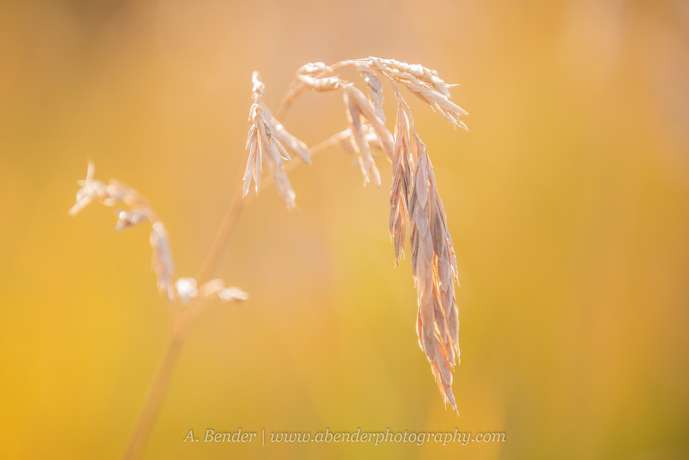 Wild grass seed and stalk glow in the autumn sunset light against a soft background of golden grasses in the Wasatch Mountains Utah | A Bender Photography LLC