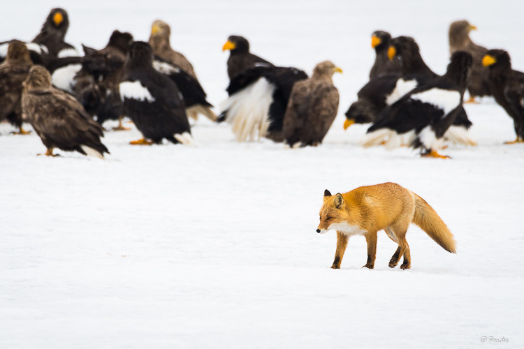 Fox with eagles in the background