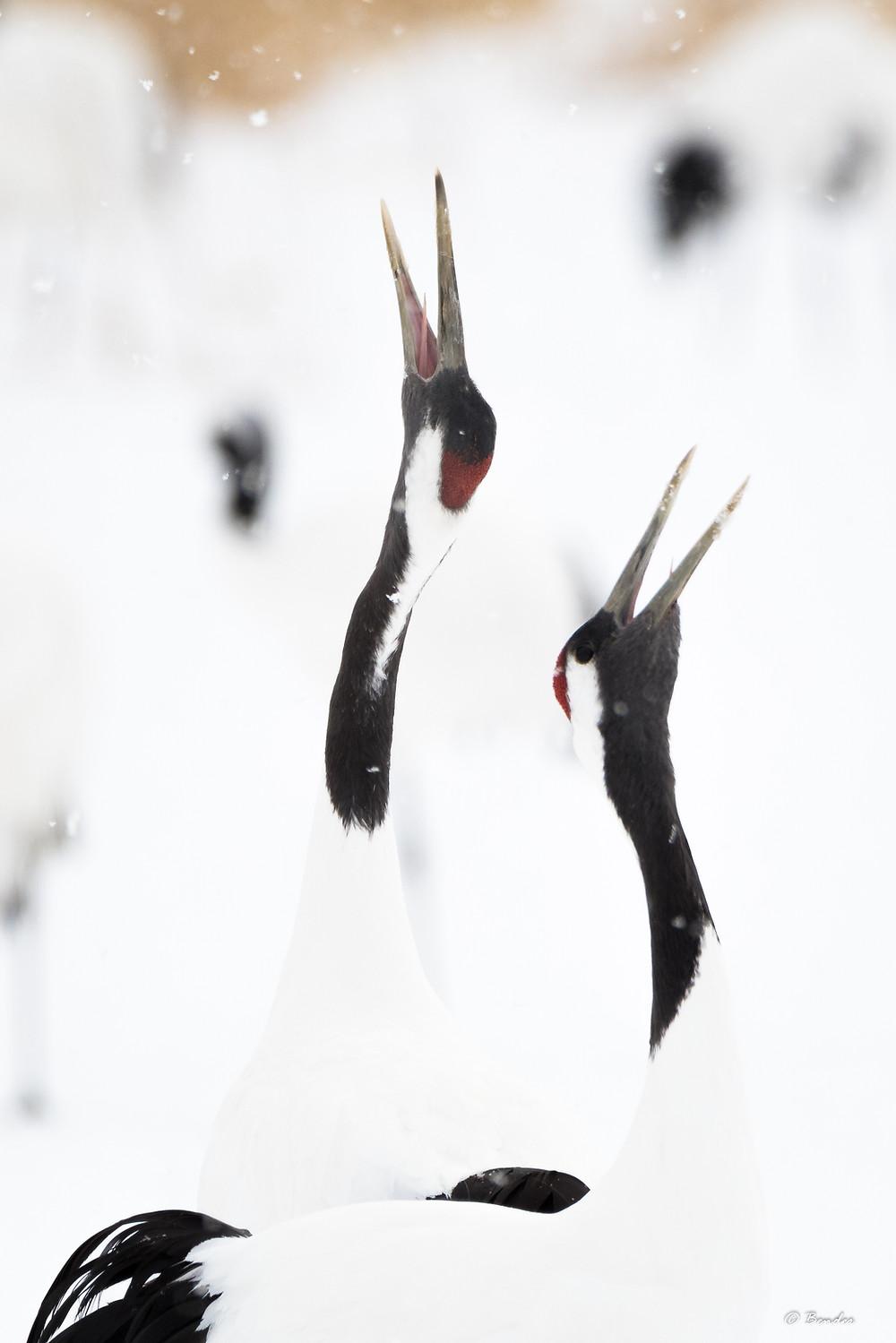 Portrait of singing crane pair