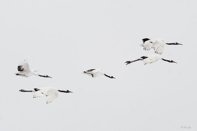 Five cranes in flight