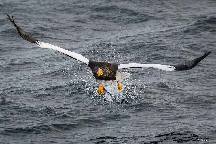 Steller's Sea Eagle with fish in talon