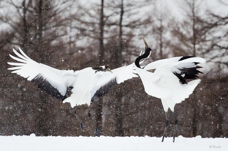 Pair of cranes dancing