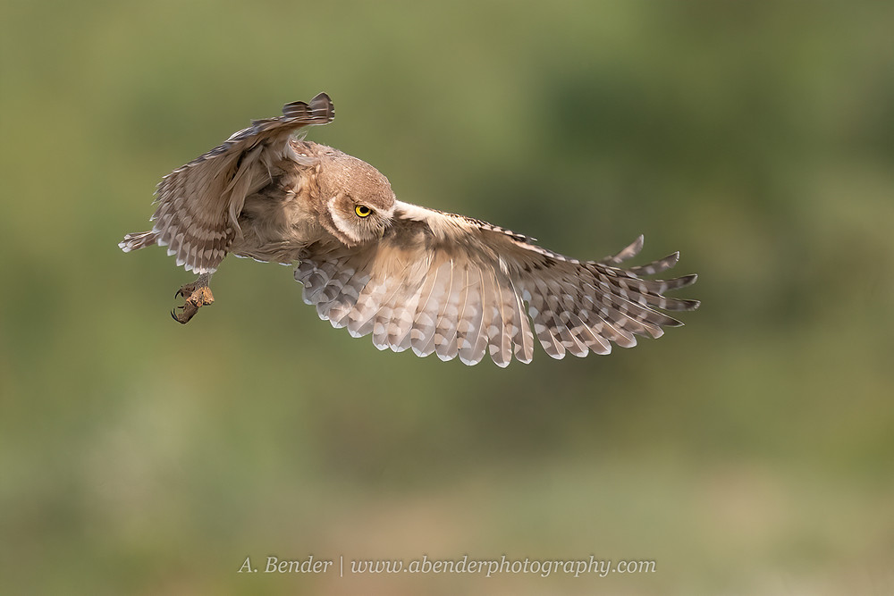 Burrowing Owl in flight in northern Texas | A Bender Photography LLC