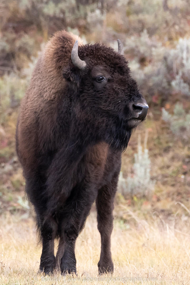 Yellowstone Bison standing by itself