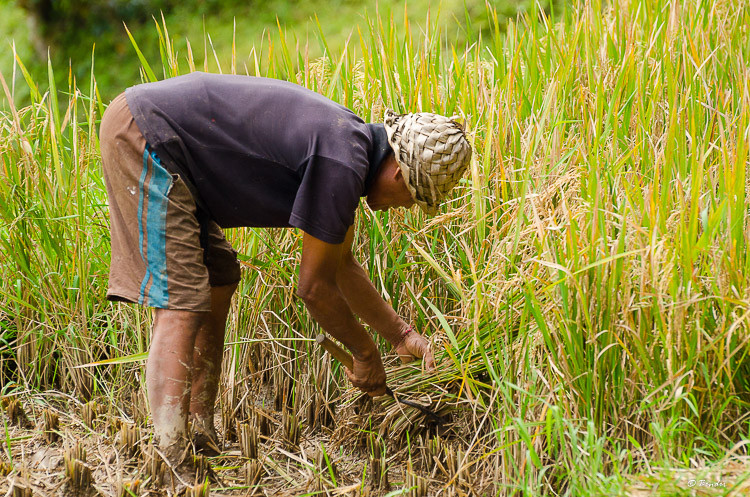 Harvesting rice by hand.