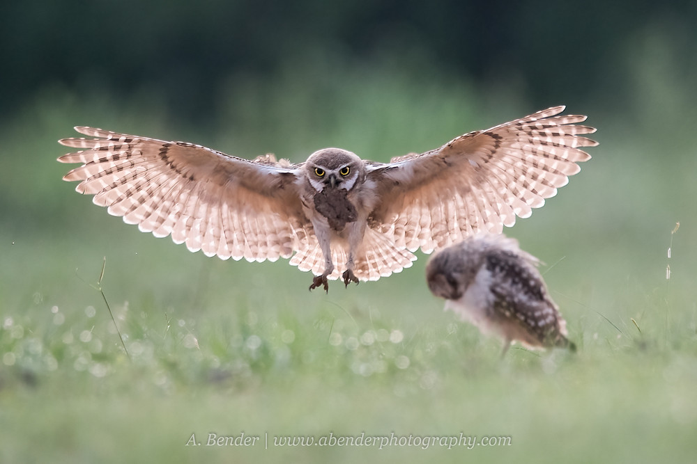 Burrowing owl in flight with dung in beak bringing it back to burrow in northern Texas | A Bender Photography LLC