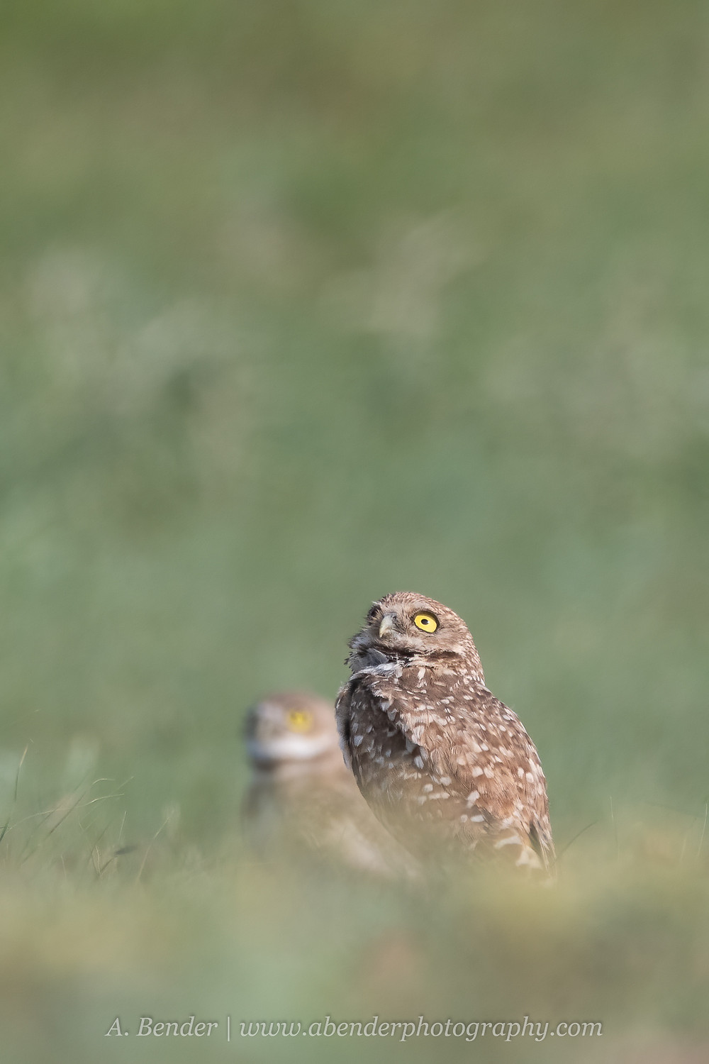 two burrowing owls scan the skies for overhead predators in northern Texas | A Bender Photography LLC