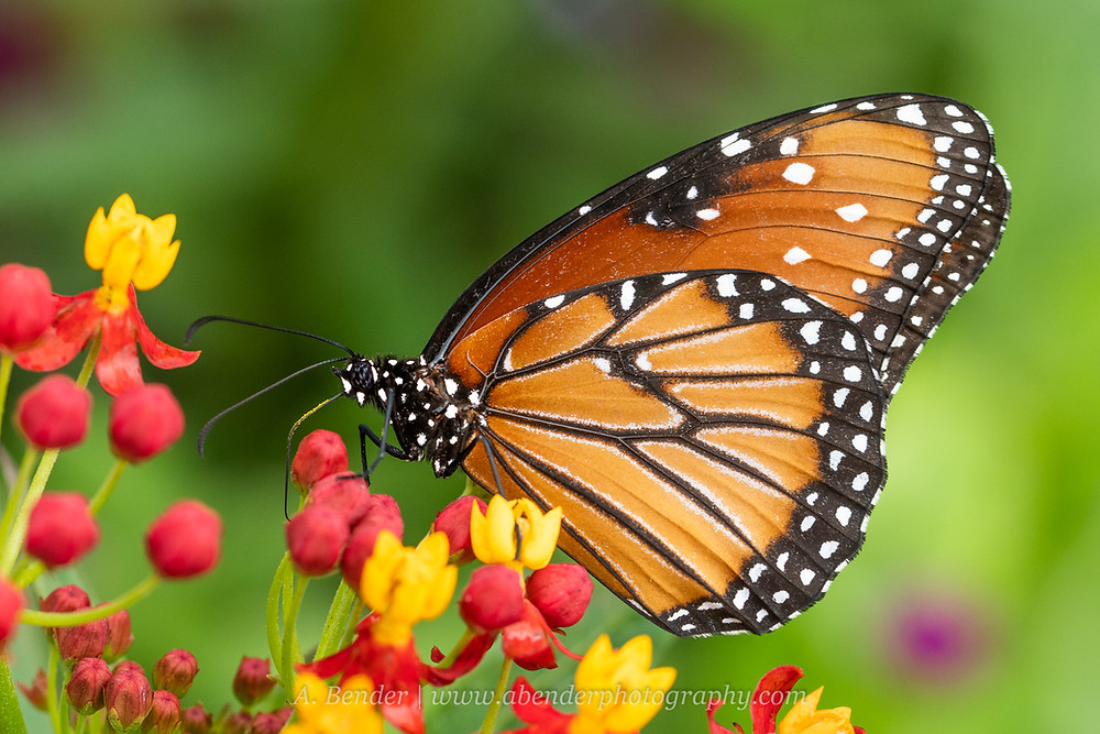 An adult monarch butterfly sits on a blooming tropical milkweed plant   A. Bender Photography LLC