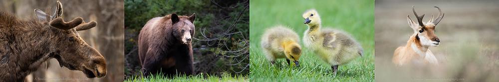 Grand Teton Wildlife Array (moose, bear, gosling, pronghorn)