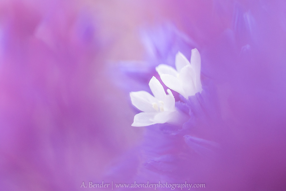 white flowers on purple background, a bender photography
