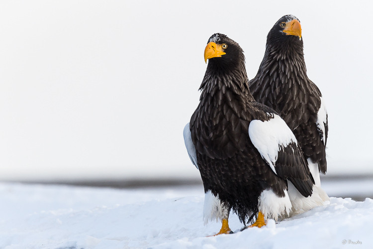 Pair of Steller's Sea Eagles