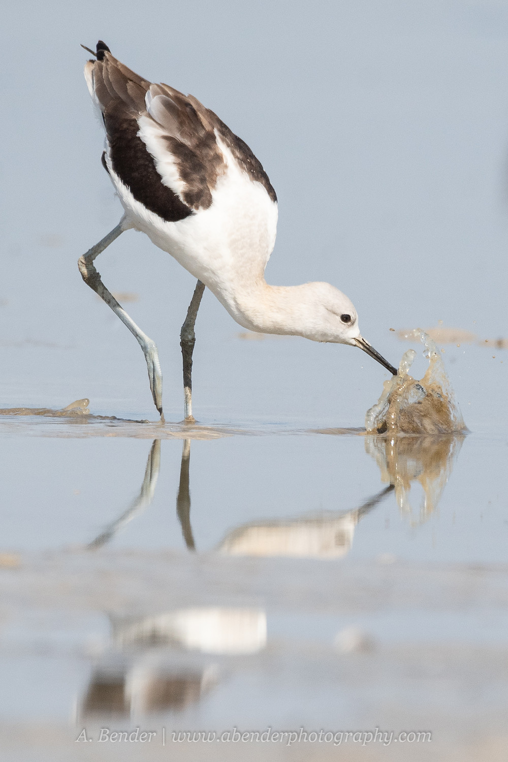 An American avocet skims for food in the drought stricken shallows of the Great Salt Lake Utah | A Bender Photography LLC
