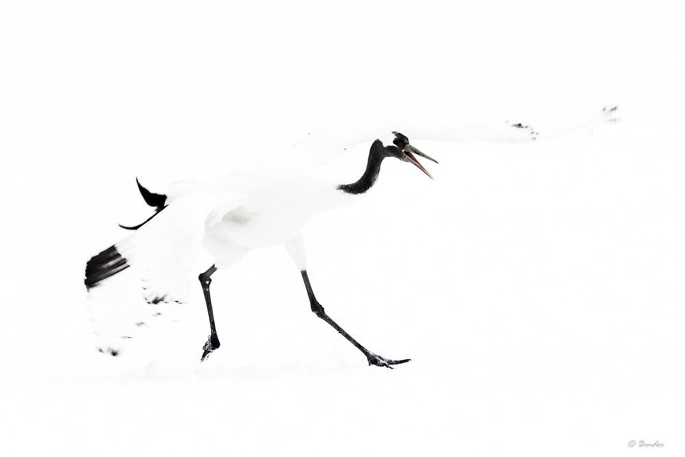 Young crane dancing enthusiastically