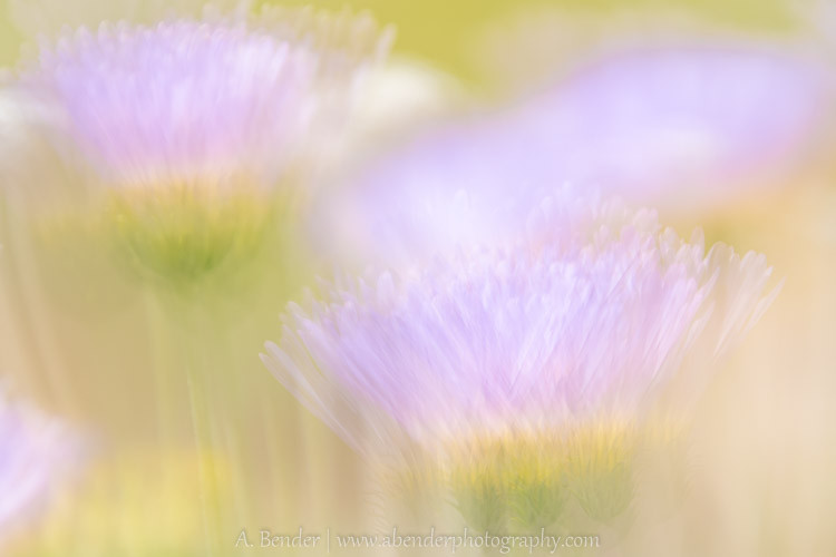 abstract impressionistic wildflowers, Joshua Tree National Park
