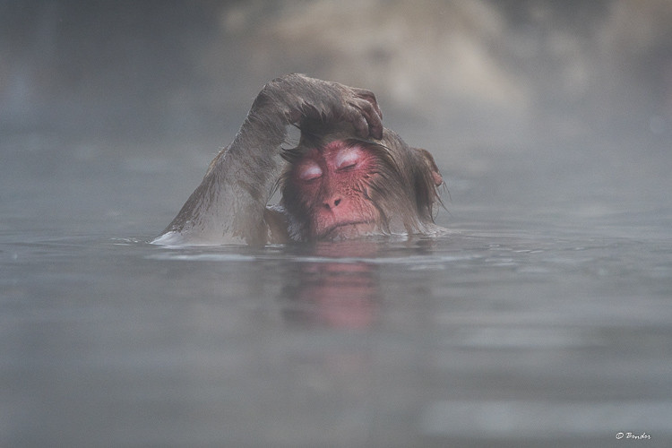 """""""Languid"""" A monkey surfaces from swimming in the hot spring"""