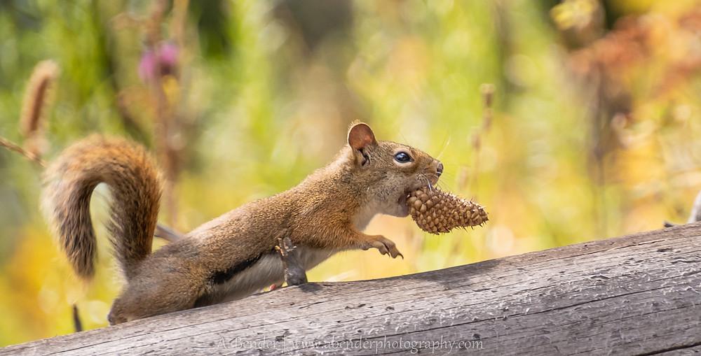 red squirrel stashing pine cones