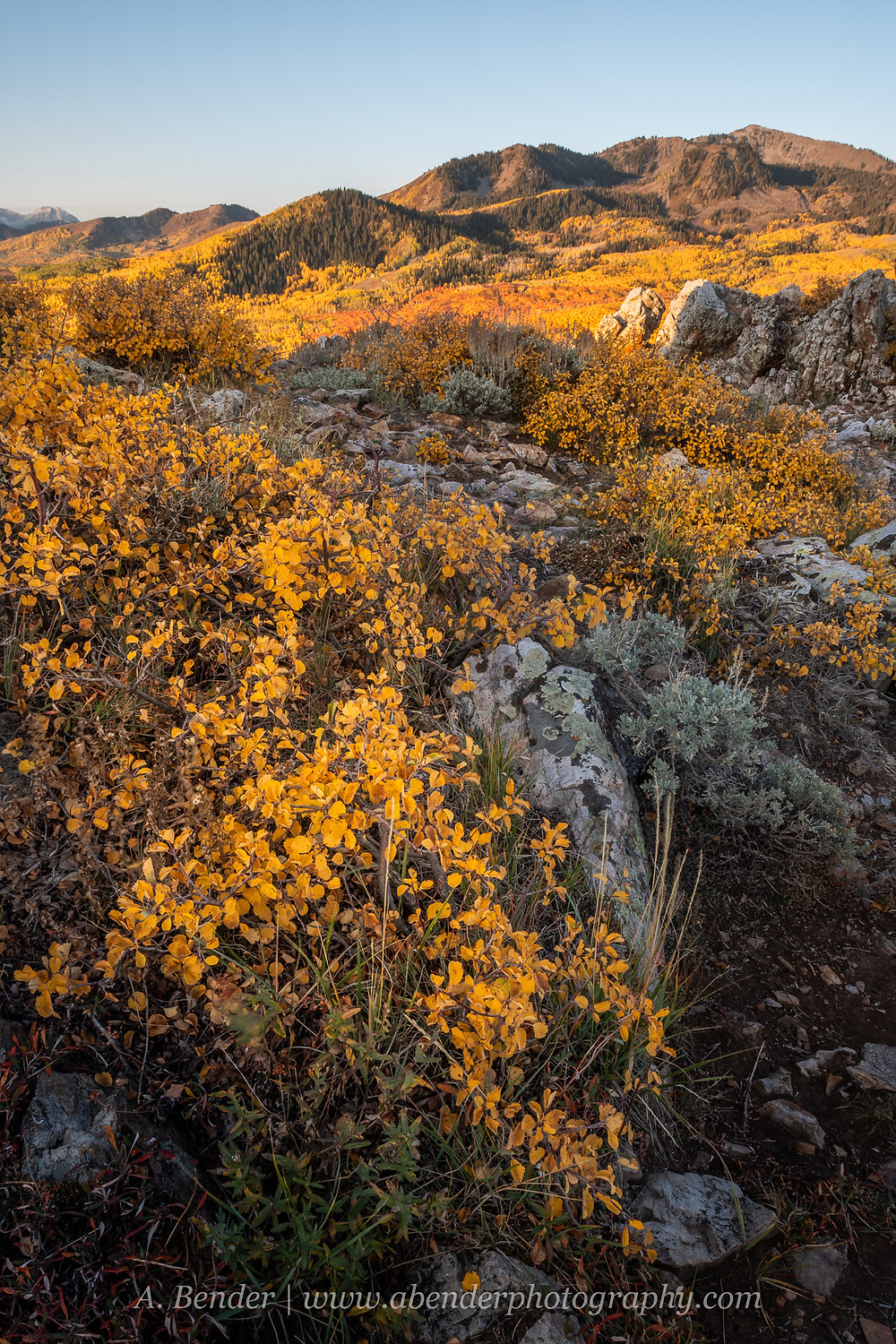 Yellow foliage extends across the frame and from the rocks in the foreground to the mountain sides in the background under blue skies in the Wasatch Mountains Utah 2021 autumn fall foliage | A Bender Photography LLC