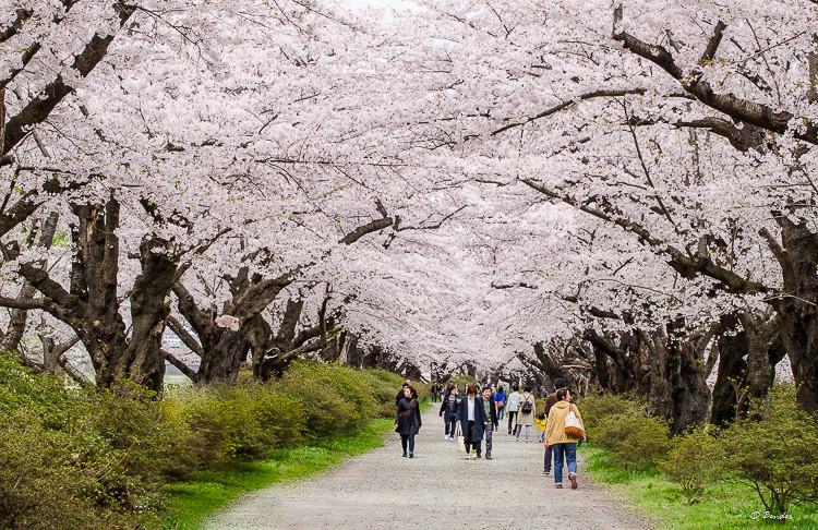 Tenshochi Park Cherry Blossom 2km lane in full bloom.