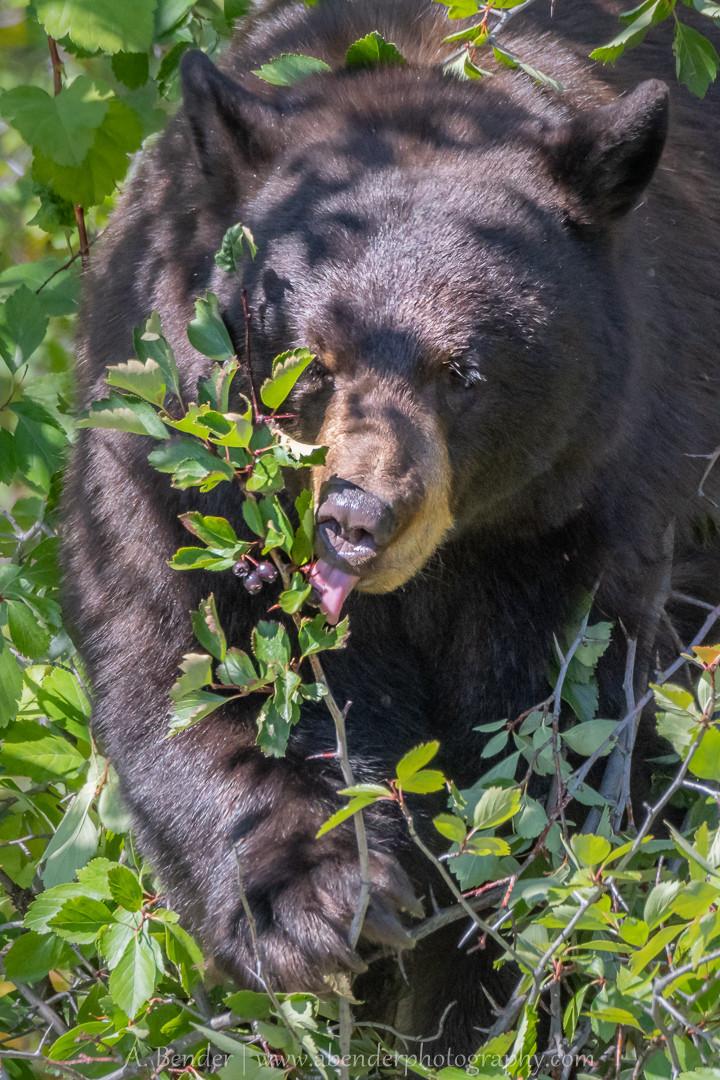 Black Bear eating Hawthorn berries