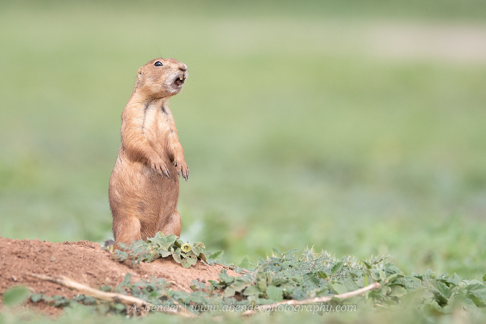 Black tailed prairie dog alert yells from mound in northern Texas | A Bender Photography LLC