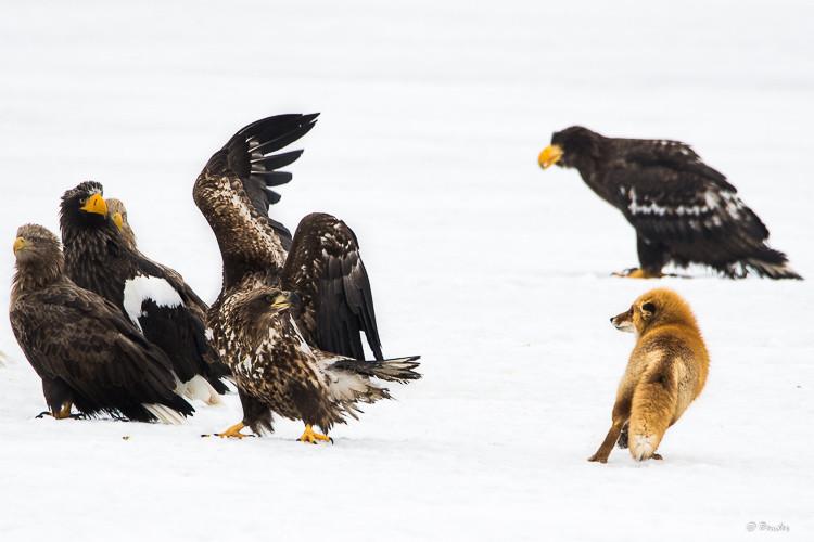 Fox vs Sea Eagle