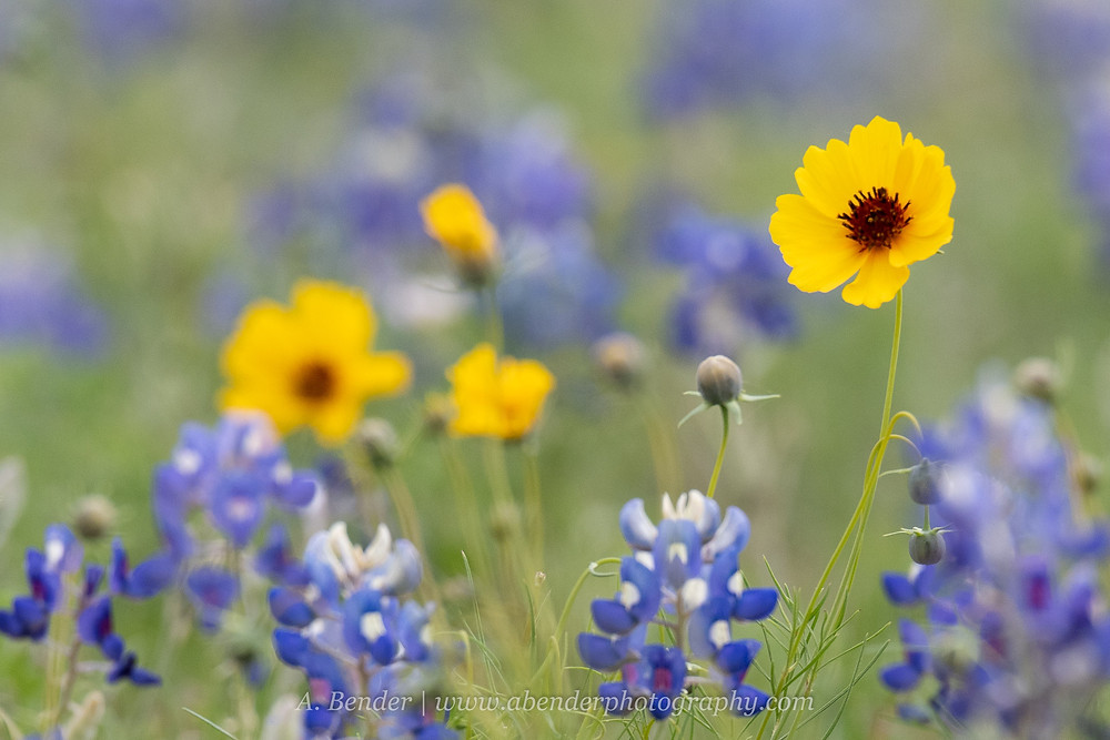 Spring bluebonnets and brown eyed susan wildflowers in Central Texas | A Bender Photography LLC