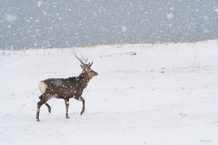 Yezo sika buck in a snow storm