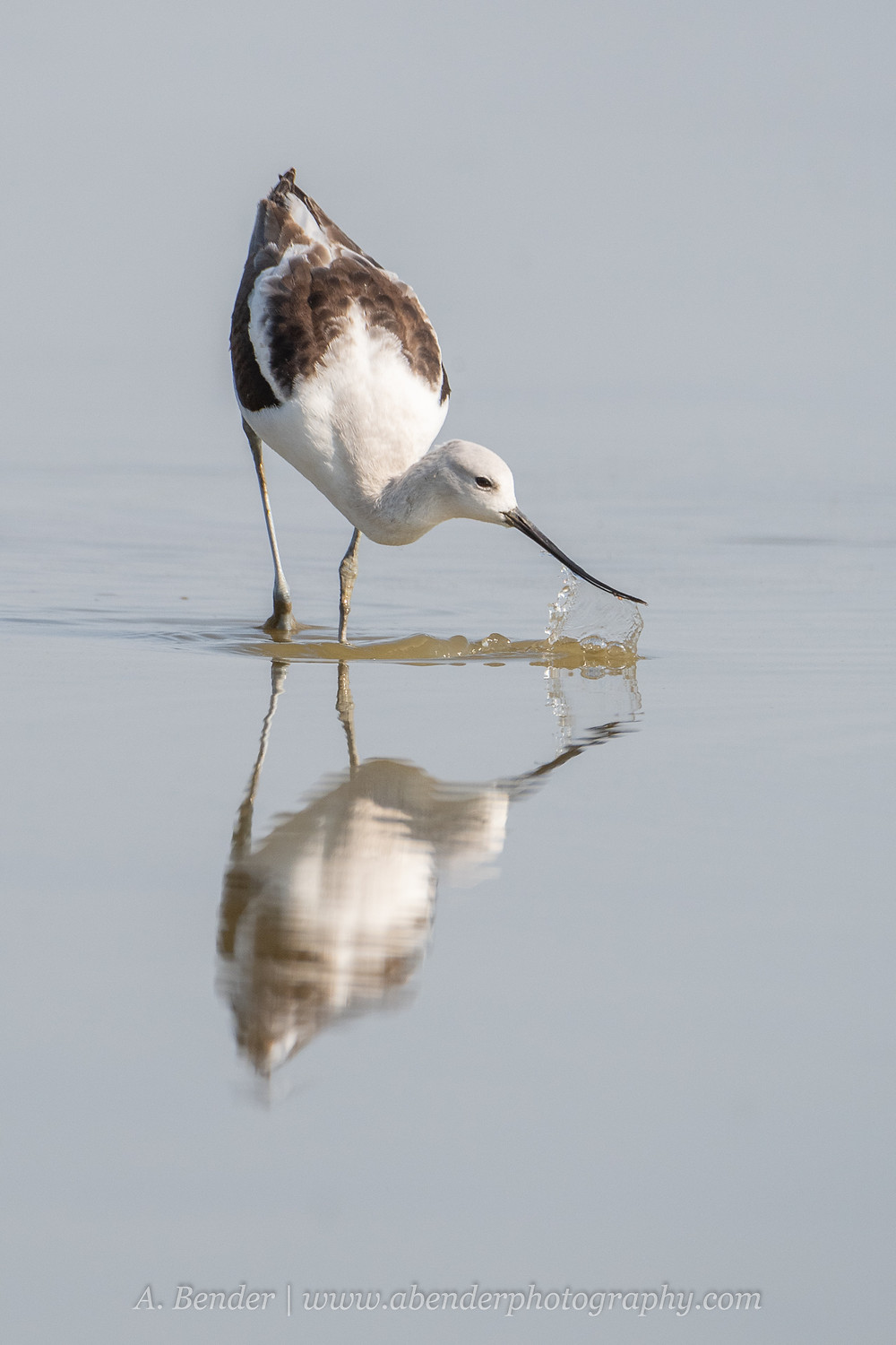 An American avocet with reflection lifts its bill out of the shallow waters of the Great Salt Lake Utah while feeding | A Bender Photography LLC