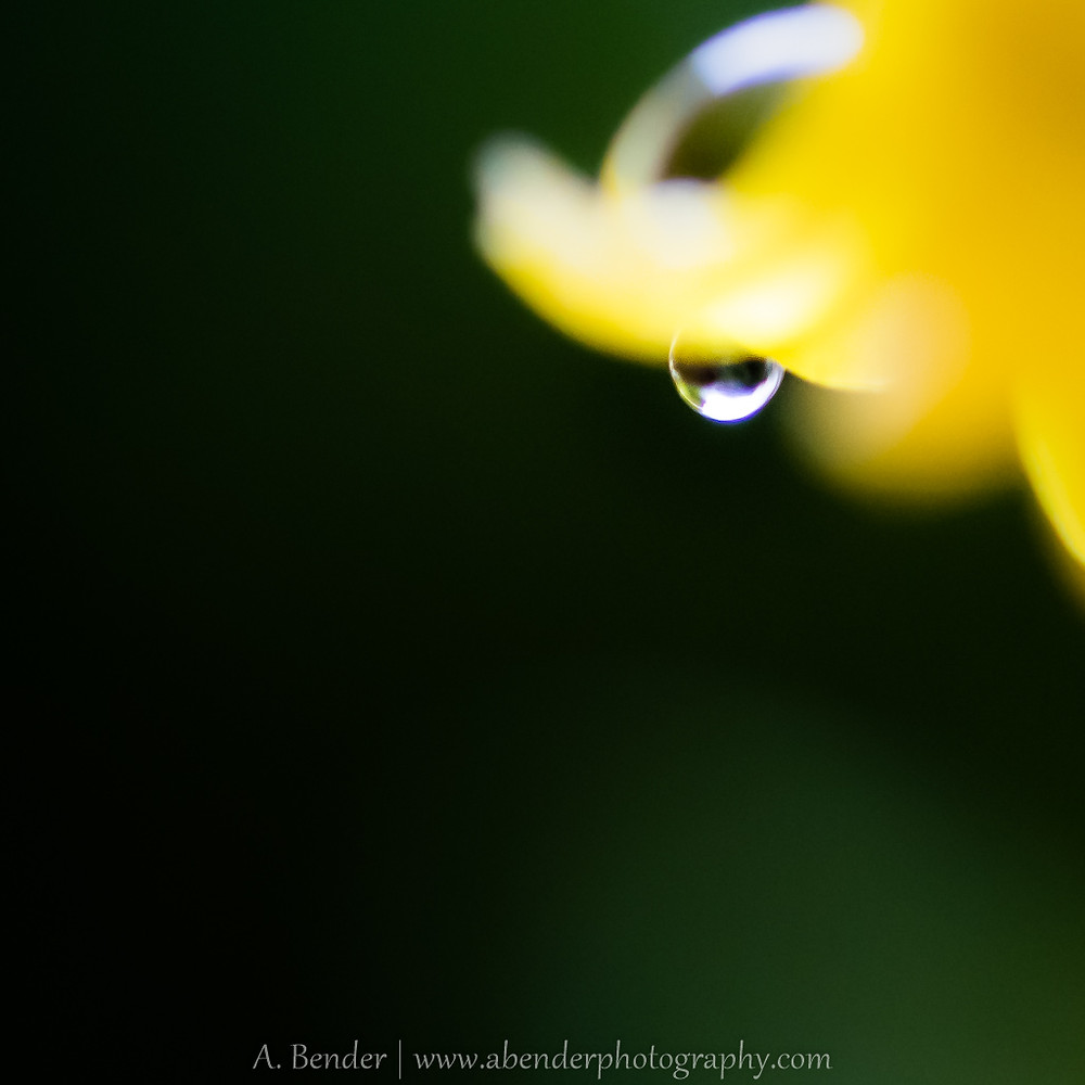 water drop hanging from yellow flower