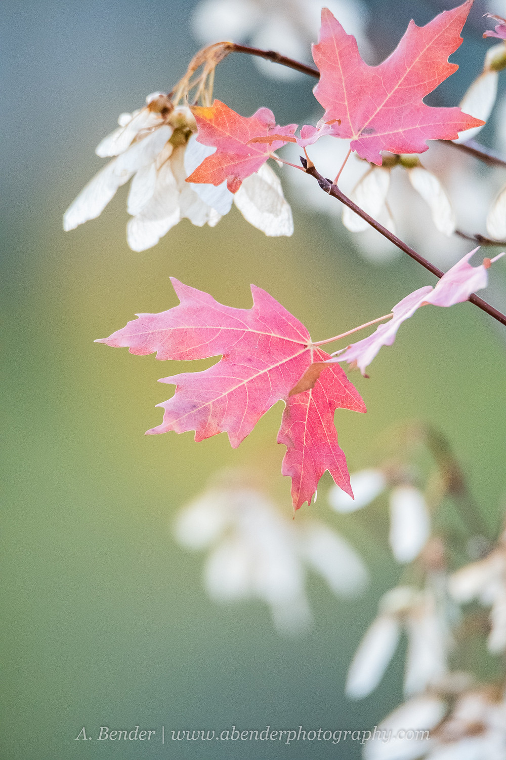 Red maple leaves and white maple seeds with wings on the tips of branches against a green background Wasatch Mountains autumn 2021 fall foliage | A Bender Photography LLC
