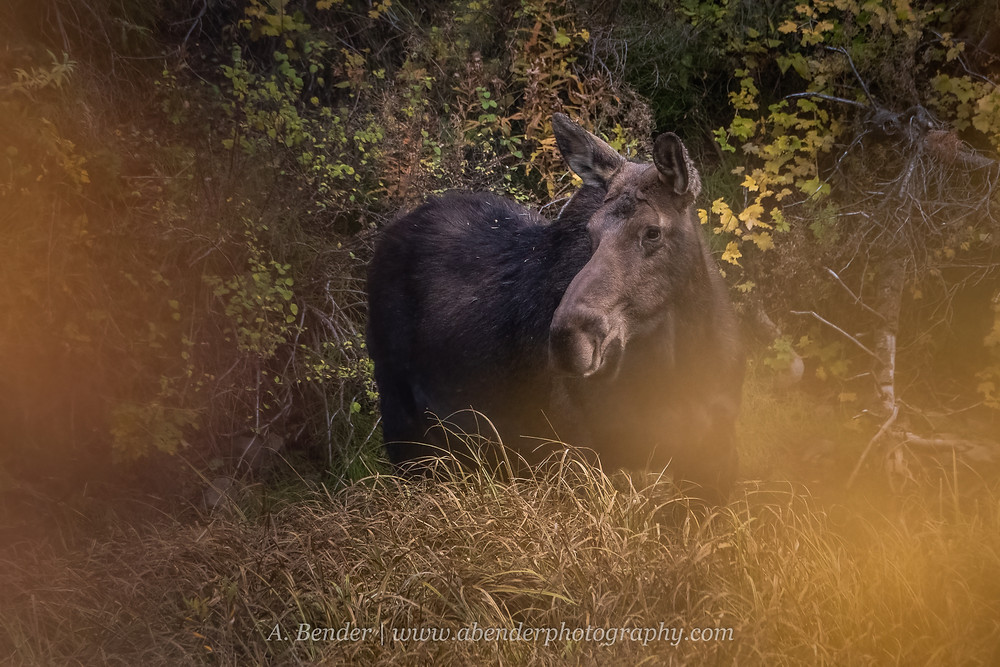 A female moose cow stands at the edge of a forest thicket framed by yellow bokeh in low light Wasatch Mountains Utah 2021 autumn fall foliage | A Bender Photography LLC