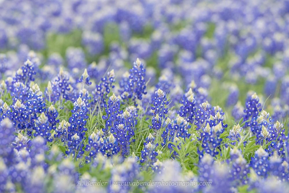 Close up of Texas Bluebonnets | A Bender Photography LLC