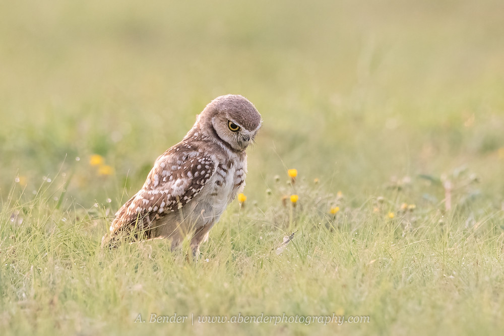 A Burrowing owl finds an insect in the grass in front of it in the golden morning light in northern Texas | A Bender Photography LLC