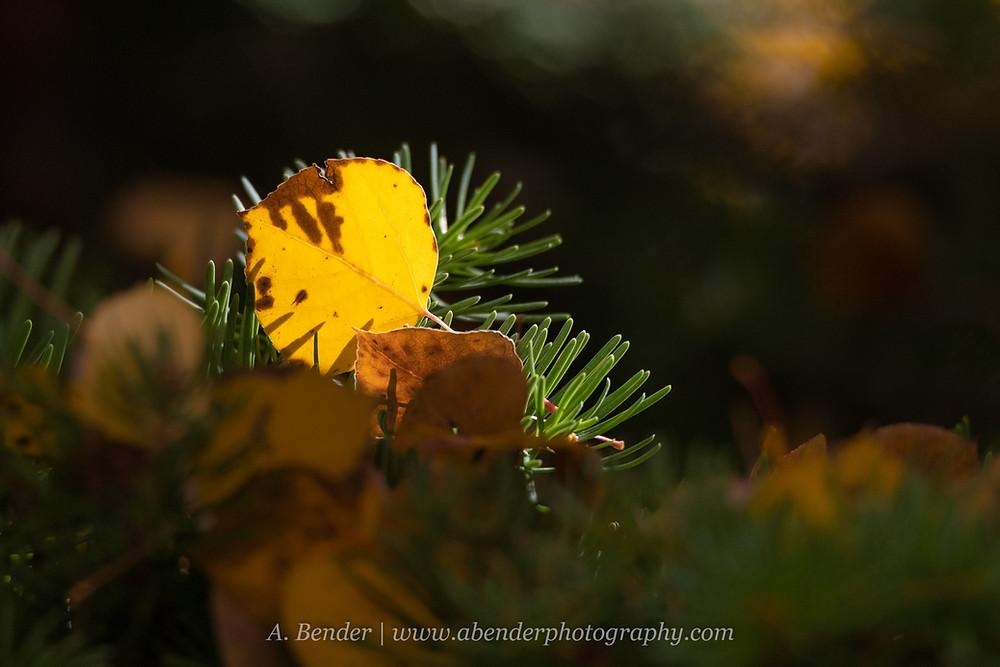 A yellow aspen leaf fallen on an evergreen branch backlit with golden light against a dark background Wasatch Mountains Utah | A Bender Photography LLC