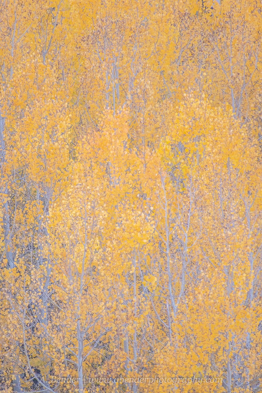Layers of aspen branches with yellow leaves create an abstract image of color and texture in the Wasatch Mountains Utah 2021 autumn fall foliage | A Bender Photography LLC