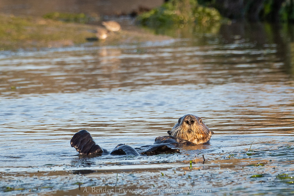 southern sea otter floating at sunset
