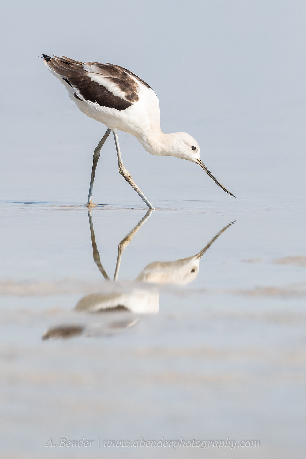 An American avocet searches for food in the drought shallowed waters of the Great Salt Lake Utah with reflection broken due to visible mud | A Bender Photography LLC