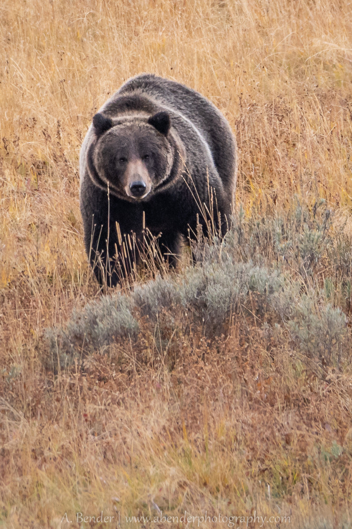 Big Yellowstone Grizzly Bear (male)
