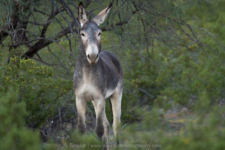 Herd Stallion, Why, Arizona