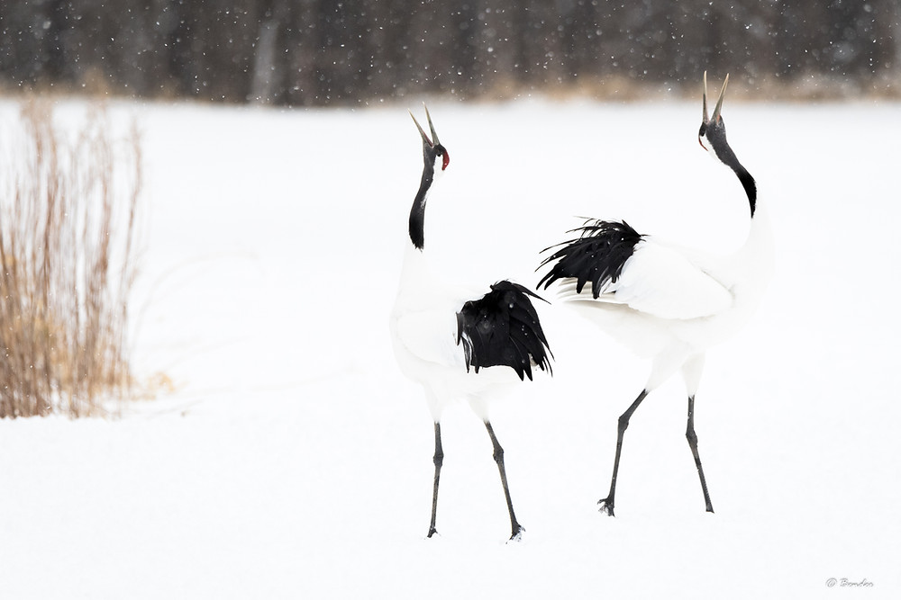 My favorite image of two cranes actively courting each other in symmetry