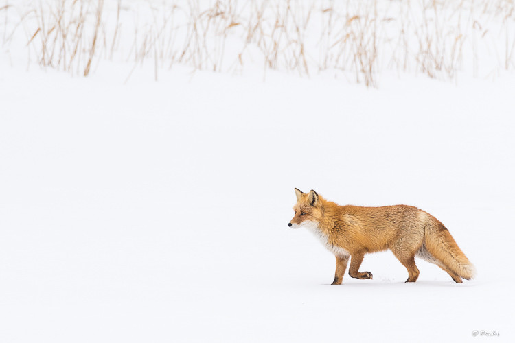 """""""Fox, Reed, and Snow"""""""