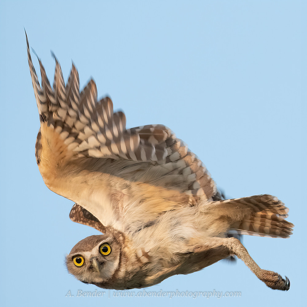 Burrowing owl in flight looking at camera in northern Texas | A Bender Photography LLC