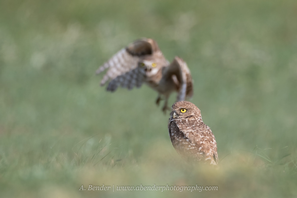 two burrowing owls in northern Texas, burrowing owl in flight, burrowing owl standing | A Bender Photography LLC