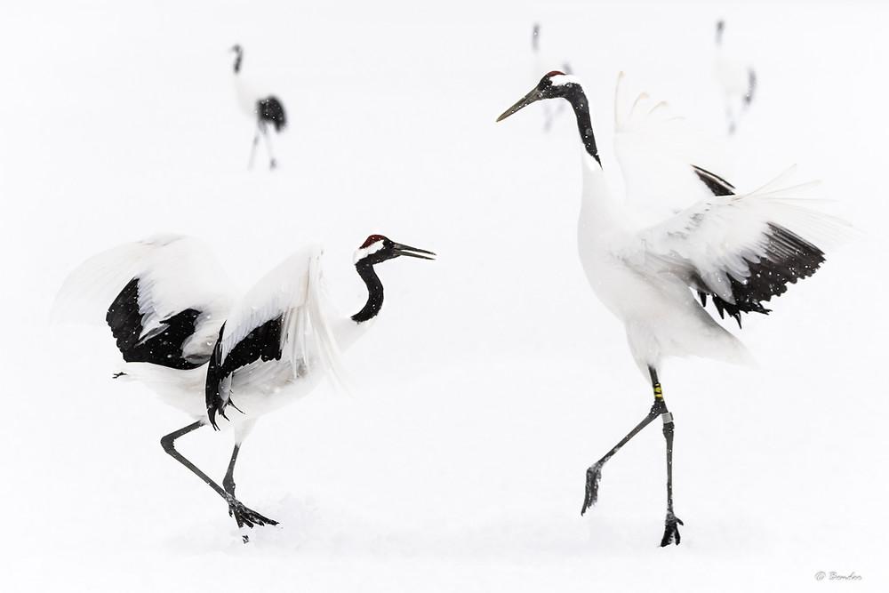 Active courtship dancing between two red crowned cranes