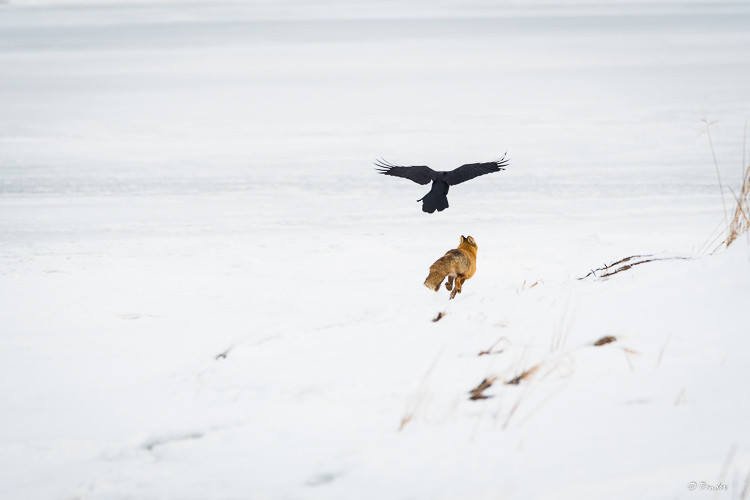 Fox being chased away by a crow