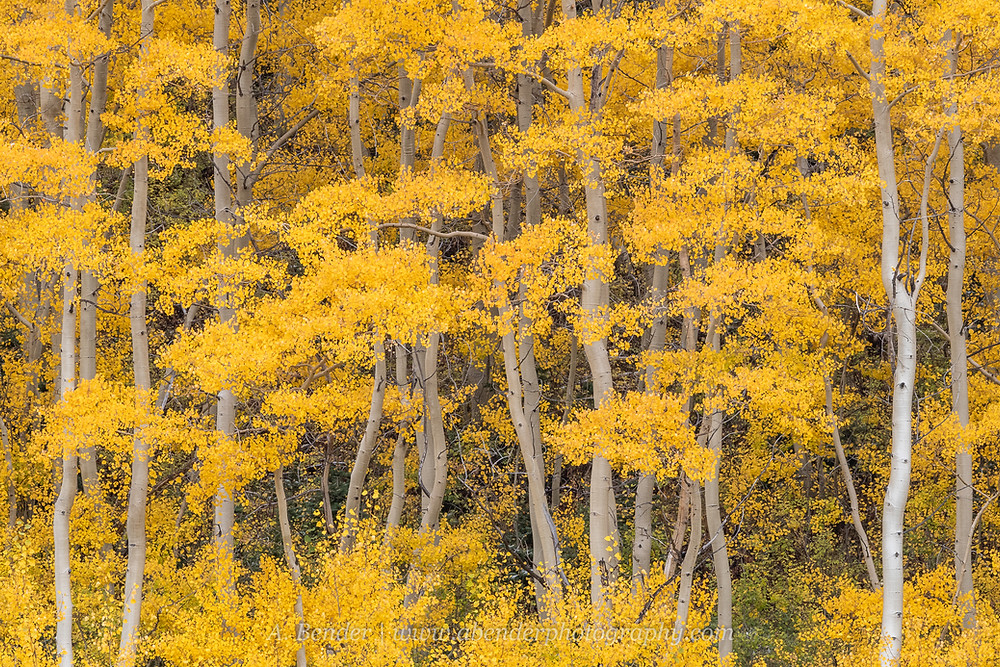 An intimate landscape of yellow aspen stand leaves trunks in the Wasatch Mountains Silver Lake Utah | A Bender Photography LLC