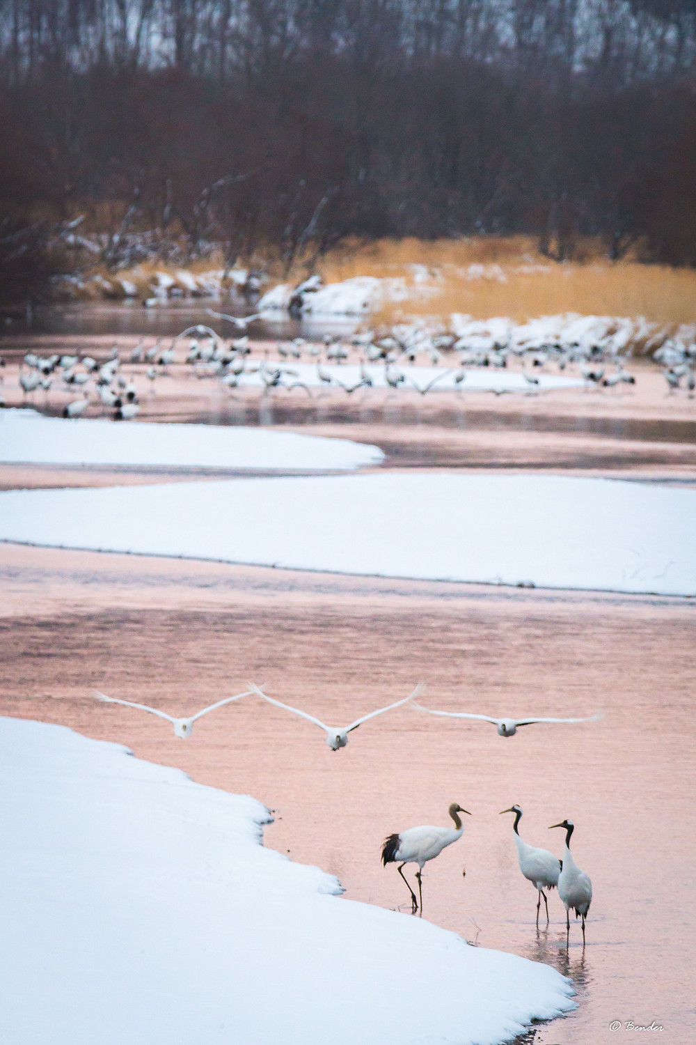 Cranes gathers in river with some taking flight
