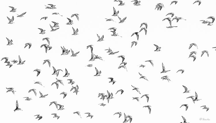 High contrast black and white of a flock of flying birds.