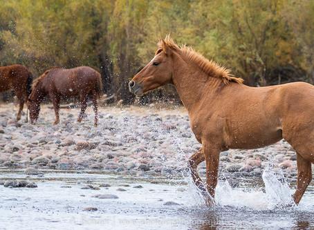 Chasing Wild Horses in Arizona